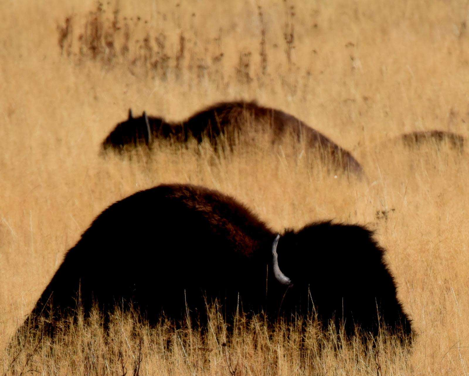 bison-in-long-grass