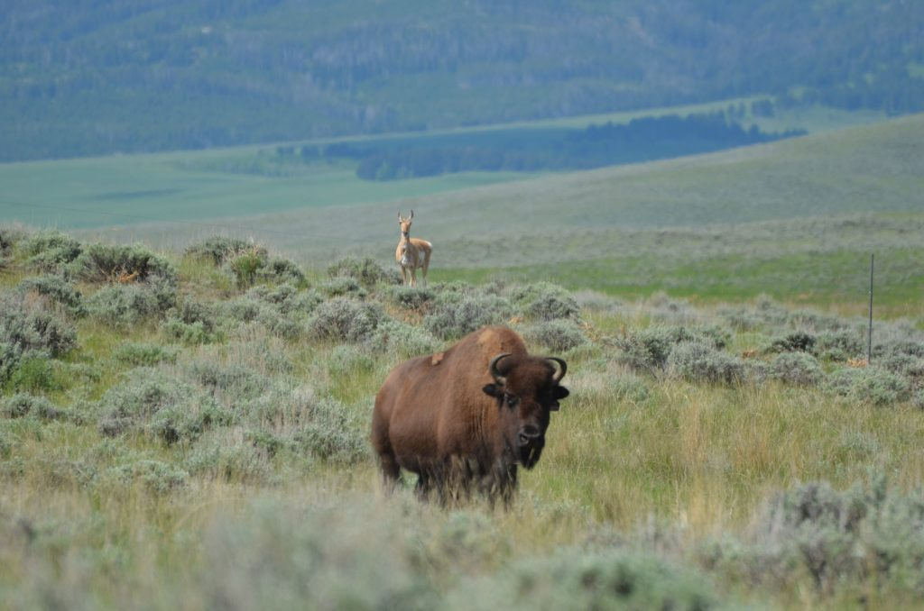 bison and antelope