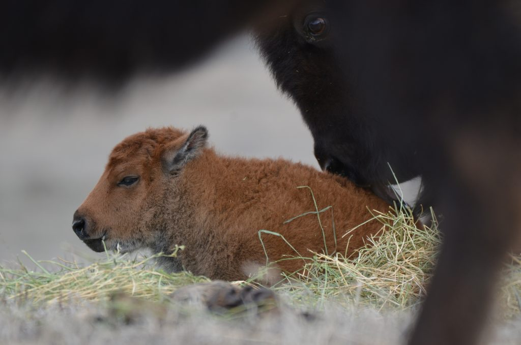 bison calf close