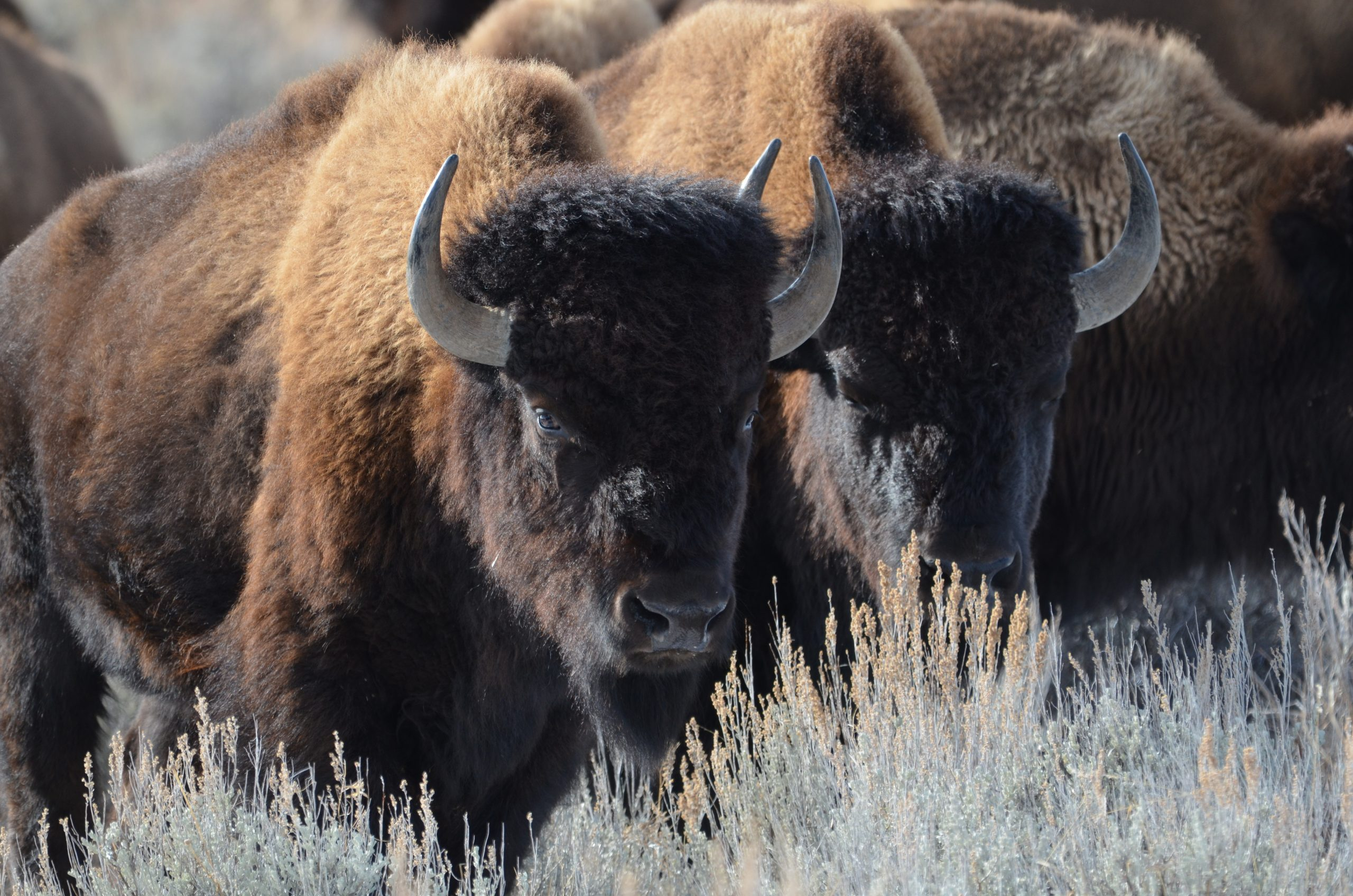 bison in row