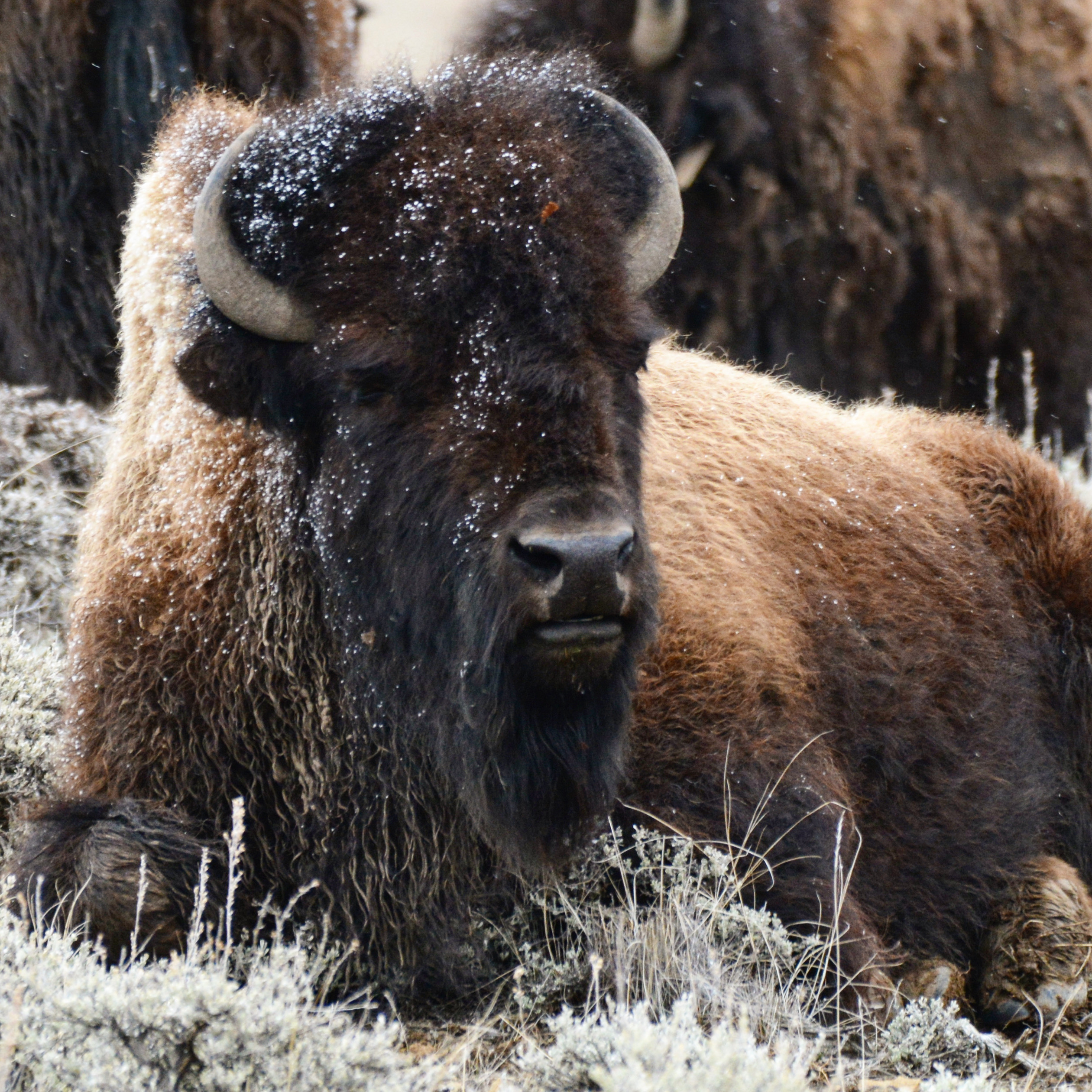 bison laying in grass