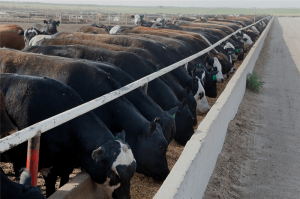 cattle-on-feed